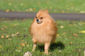 Spitz for a walk — Stock Photo