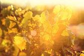 Grape vines at sunset — Stock Photo