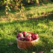 Freshly picked apples in the orchard - Stock Photo
