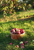Freshly picked apples in the orchard — Stock Photo