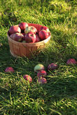 Closeup of freshly picked apples — Stock Photo