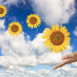 Hands with a sunflower on background of blue clear sky — Stock Photo