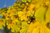 Chestnut branch with yellow leaves — Stock Photo