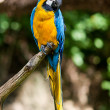 Macaws in the trees at the zoo — Stock Photo #6887667