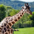 Giraffes in the zoo safari park - Stockfoto