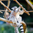 Lemur sitting on the branches at the zoo — Stock Photo