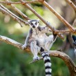 Lemur sitting on the branches at the zoo — Stock Photo #6887761