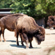Buffalo in zoo — Stock Photo
