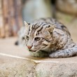 Beautiful wild cat fishing in zoo — Stock Photo