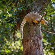 Coati jumping from branch to branch in a zoo - Stock Photo