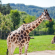 Giraffes in the zoo safari park — Stock Photo #6888920