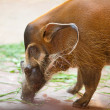 Wild boar in a zoo — Stockfoto