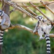 Lemur sitting on the branches at the zoo — Stock Photo #6889031