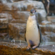 Humboldt penguins at the zoo - Stock Photo