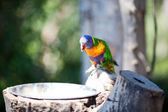 Beautiful colorful parrot lory at the zoo — Stock Photo