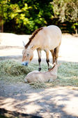 Przewalski's horse at the zoo — Stock Photo