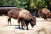 Buffalo in zoo — Stock Photo