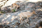 Mountain goats and kids at the zoo — Stock Photo