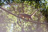 Coati jumping from branch to branch in a zoo — Stock Photo