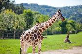 Giraffes in the zoo safari park — Stock Photo