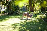 Kangaroo on the green grass at the zoo — Stock Photo