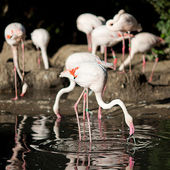 Flamingo standing in water at the zoo — Stock Photo