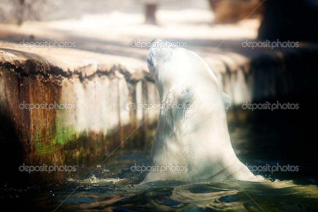 Polar bear in the water at the zoo — Stock Photo #6887917