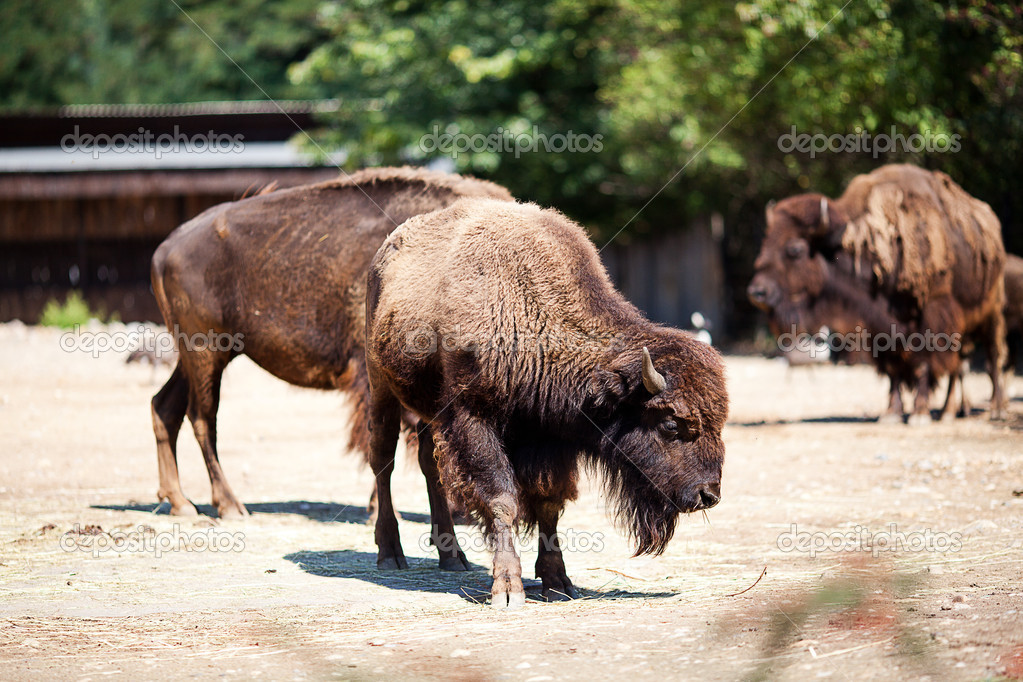 Buffalo in zoo — Stock Photo #6888207