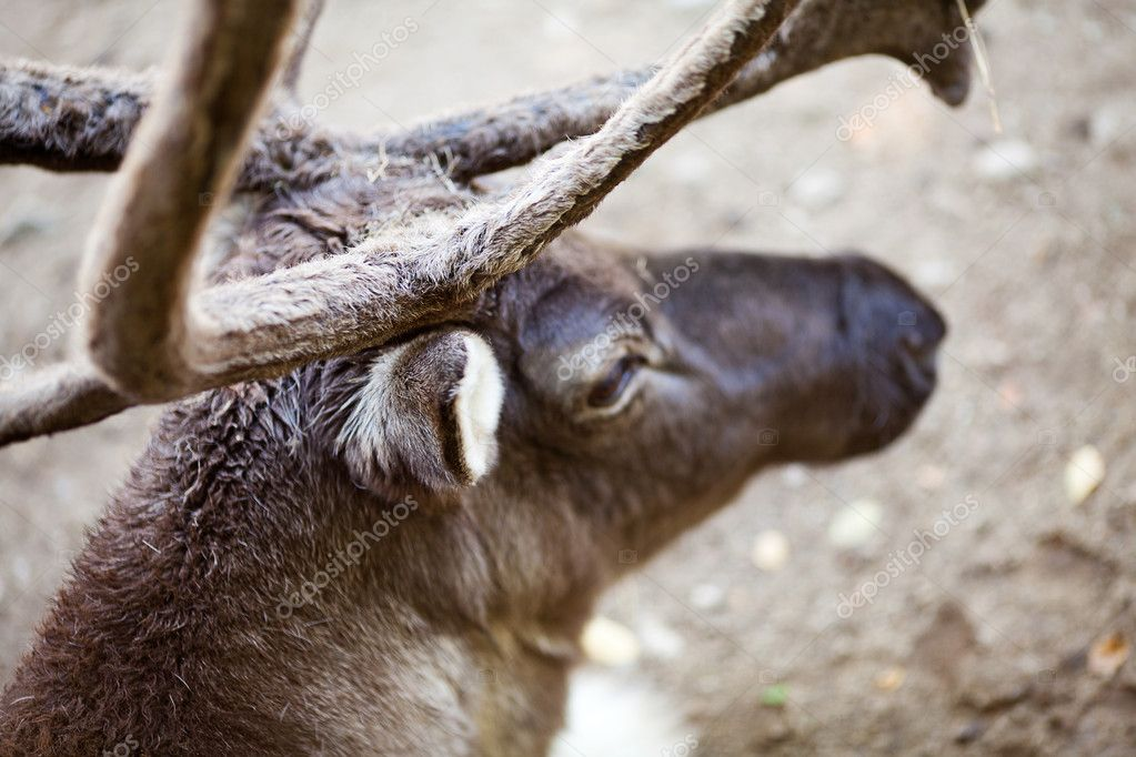 Reindeer at the zoo — Stock Photo #6888216