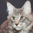 Beautiful striped maine coon cat on a black background — Stock Photo #7152962