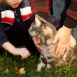 Beautiful striped maine coon cat in nature and hands of — Stock Photo #7152975