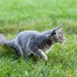 Beautiful striped maine coon cat in nature - Photo