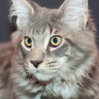 Beautiful striped maine coon cat on a black background — Stock Photo #7153021