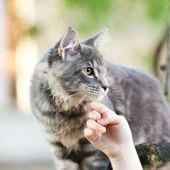 Hermosa rayas maine coon el gato en naturaleza — Foto de Stock