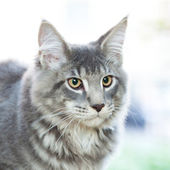 Beautiful striped maine coon cat in nature — Stock Photo