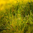 Background of lush green grass  in the light sun - 图库照片