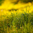 Background of lush green grass in the light sun — Stock Photo