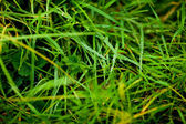 Background of lush green grass with dew — Stock Photo
