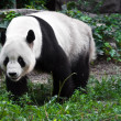 Panda in parco zoo — Foto Stock