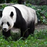 在动物园的熊猫 — 图库照片