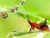 Gouttelettes d'eau sur la feuille avec la larve de sauterelle — Photo