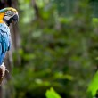 Colorful scarlet macaw perched on a branch — Stock Photo #7807981