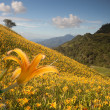 Daylily flower at sixty Stone Mountain in Taiwan Hualien festival - Stockfoto