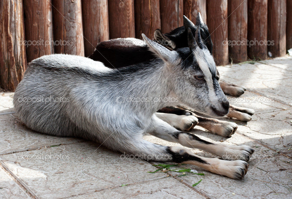 Goats are on the ground — Stock Photo #6965310