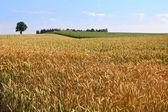 Zralé pšeničné pole — Stock fotografie