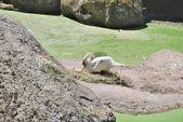 Female white swan in jack — Stock Photo