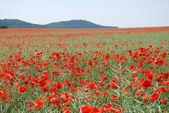 Red wild poppy panorama — Stock Photo