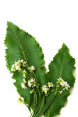 Leaves horseradish — Stock Photo