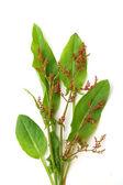 Fresh sorrel — Stock Photo
