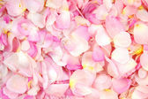Petals of rose — Stock Photo
